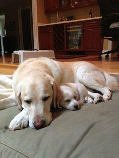 Labrador & pup