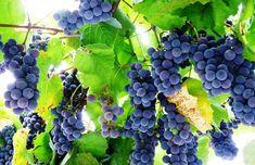Vita de vie : Ghid complet de plantare intretinere si tratamente. Grape Trellis, Fruit, Food, Life, Lawn And Garden, Essen, Meals, Yemek, Eten