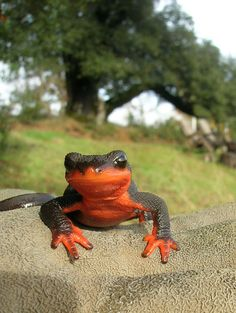 Red means STOP… at an intersection or on an amphibian. The red-bellied newt secretes a deadly neurotoxin (Photo: Janetcetera, Creative Commons license).