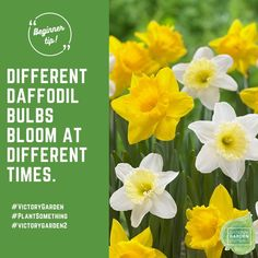 Remember: Different types of daffodils bloom at different times during the spring. The same is true for tulips and alliums. When purchasing bulbs, check the bloom times so you can enjoy a long season of flowers. And for many locations, as long as the ground isn't frozen, you can still plant bulbs for next Spring flowering! #fallisforplantingbulbs Learn more at