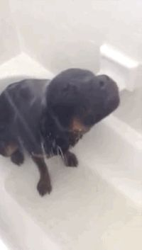 Lena the Rottweiler loves to take showers!