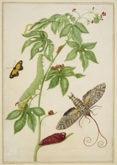 Cotton-Leaf Physicnut with Giant Sphinx Moth