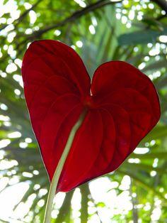 Anthurium for Valentines Day <3