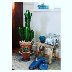 """""""Taitaa olla niin, että kaktus on uusi huonekuusi. Toimituksessa kovasti ihasteltiin tätä yksilöä #viherkasvi #kaktus #sisustus #mehikasvi #kotivinkki"""""""