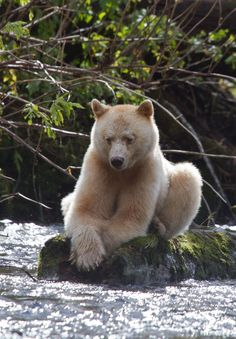 "So pretty. The Kermode Bear also known as the ""spirit bear"" ~ is a subspecies of the Black Bear living in the Central and North Coast of British Columbia, Canada"
