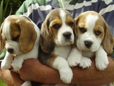 Bouquet of beagle dogs