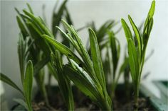 How to Propagate Lavender http://herbsandoilshub.com/how-to-propagate-lavender/ This article provides step-by-step directions and photos on how to propagate new lavender plants from existing plants. #myherbalstudies
