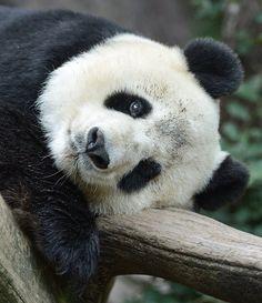 Bai-Yun enjoys giant panda naps. Photo taken at the San Diego Zoo by Mike Wilson.