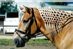 """Finnhorse gelding Vesku Poika. The mane of Finnhorses is almost never pulled and so the traditional braiding is quite impossible. But a """"net"""" is always an option!"""