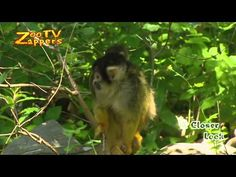 Squirrel monkeys are native to the tropical rainforests of South America. They occupy many different types of forests, they usually forage in the medium and lower levels of the forest and sleep close to the canopy.