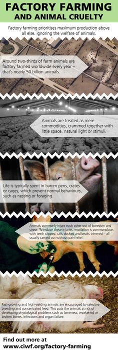 factory farming and animal cruelty essay To feed the proper food to each different animal instead of feeding corn to  everything the step to be a factory farm will included a lot of killing of premature  animals  well this is the exact cruelty farm animals endure every day in factory  farms.
