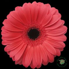 Coral Gerber Daisy with Dark Center