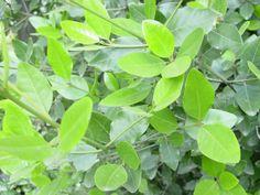 Beilschmedia berteroana belloto del sur. Arbol endemico de Chile. Lauraceae. mtserra