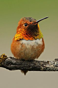 rufous hummingbird. We had one of these visit our feeder this summer. Was the most beautiful hummy I've ever seen. Was only here for a couple of days and he ran the roost.