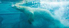 In Mulhouse zoo you can see polar bears swimming underwater. Le Zoo, Polar Bears, Underwater, Swimming, Park, Animals, Zoo Park, Linda Park, Wild Life