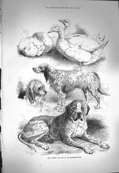 *95 1871 Illustrated London News Prize Poultry Dogs Birmingham Show Animals
