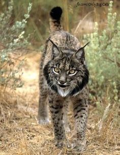 Tribute to the worlds most endangered Cat- Iberian Lynx