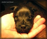 Invisible Touch Kennel Scottish Terrier puppy ...absolutely AMAZING!