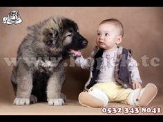 KAFKAS ÇOBAN KÖPEĞİ YAVRULARI 0532 343 8041 http://www.vk2001.com/kafkas-coban-kopegi.htm KÖPEK KULÜBÜ  KAFKAS ÇOBAN KÖPEĞİ;   Kafkas çoban köpeği, büyük boyutlarıyla dikkatleri çeken bu iri ırk diğer bir deyişle Kars Çoban köpeği olarak ta anılmaktadır. Kafkas çoban Kars, Ardahan,Artvin,Erzurum,Iğdır,Ağrı illerimizde yetiştirilmekte olan bir köpek cinsidir. Saflığı tescil edilen bir ırktır. Kafkas çoban köpeği, bölgenin iklim ve arazi şartlarına uygun bir köpek olması nedeniyle tercih…