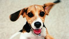 "The earliest dogs that were referred to as ""Beagles"" were small hound dogs..."
