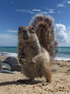 Chipmunk at the beach, Fuerteventura