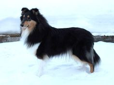 Beautiful tricolor rough collie