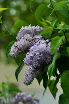Lilacs are one of my favorites