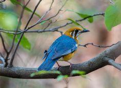 Birds, Orange headed trush