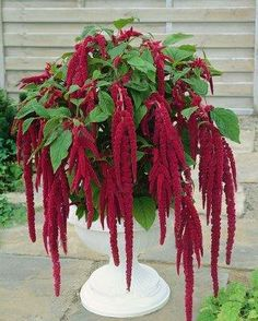 Heirloom Love-Lies-Bleeding Amaranth Seeds by AuntBeesSeeds for $2.50