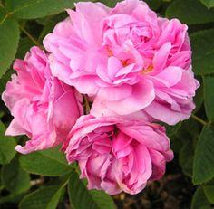 Rose de Puteaux Damascener Skuggtålig 120-150 cm försommar Zon 3 uråldrig ros