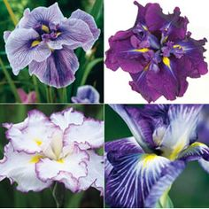 Iris ensata 'Collection' from Thompson & Morgan - experts in the garden since 1855 Plants For Small Gardens, Back Gardens, Biennial Plants, Japanese Iris, Perennials, Planting Flowers, Exotic, Irises, Landscape