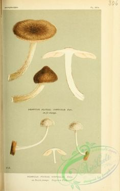 mushrooms-02384 - agaricus (pluteus) hispidulus [1632x2577] old century nice flora download high plants books 1700s Victorian domain flowers Edwardian picture blooming Paper digital scan nature lithographs 17th  botanical use pre-1923 scrapbooking instant collection 300 dpi royalty collage fabric decoration public natural 1800s Pictorial art floral naturalist illustration ArtsCult printable wall 1900s Graphic craft paintings Artscult qulity free masterpiece commercial pack ornaments flower…