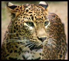 Leopard by kanes on Deviant Art