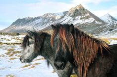De beroemde IJslandse paarden.