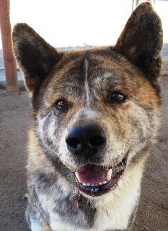 Meet Taiga, a Petfinder adoptable Akita Dog | La Jolla, CA | located in ROMOLAND CATaiga is a fantastic and flashy tiger brindle Japanese male Akita. Taiga...