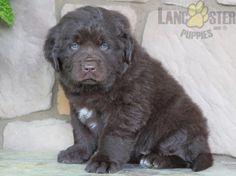 Newfoundland Puppies, Puppies For Sale, New Friends, Labrador Retriever, Adoption, Lady, Dogs, Animals, Labrador Retrievers