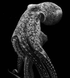PsBattle: Portrait of a octopus : photoshopbattles