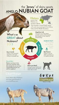 Nubian Goat Facts ~ This is why I LOVE Nubians. :) this pic only Keeping Goats, Raising Goats, Goat Toys, Goat Pen, Nubian Goat, Goat Care, Dwarf Goats, Baby Goats, Mini Goats