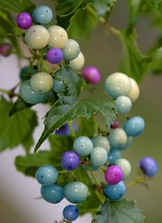 Porcelain Berry, Late Summer/Early Fall (limited)-Purple/Blue flowers