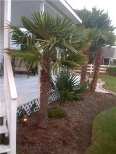 landscaping with windmill palms - Google Search