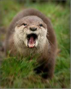 Otter, Fierce creature