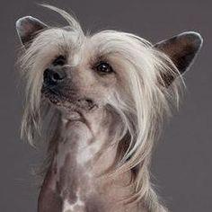 O Cão de Crista Chinês adora colo, é super apegado ao dono e está sempre alegre. É um cão de pequeno porte e recomendado para toda a família.