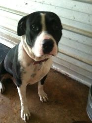 DJ is an adoptable American Bulldog Dog in Chipley, FL. DJ is a male bulldog mix he is 1-2 years old and around 40-45 lbs he is very sweet and calm looks to be very clean and well cared for he loves a...