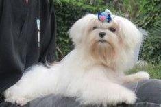 Bichon Maltes Macho Bichon Maltes Macho Funny Dogs Animals Puppy Love