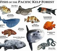 pacific kelp forest sheephead - Bing images Animals Of The World, Animals And Pets, Cute Animals, Wolf Eel, Fish Chart, Leopard Shark, Kelp Forest, Marine Ecosystem, Animal Posters