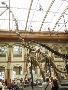 Berlin_-_Museum_für_Naturkunde_-_Brachiosaurus_brancai.jpg (1500×2000) - Maintenant nommé Giraffatitan. Dinosauria, Saurischia, Sauropodomorpha, Sauropoda, Macronaria, Brachiosauridae. Auteur : Raymond Spekking, 2007.