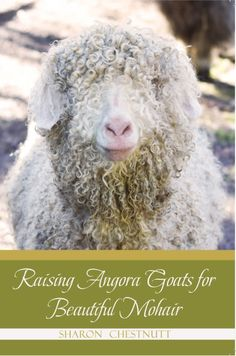 """Gorgeous white and natural colored angora goats and beautiful mohair fleeces are the heart of Cloudspun Angoras. Sharon Chestnutt shares her knowledge in her new book """"Raising Angora Goats for Beautiful Mohair""""."""