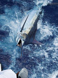 blue marlin beside the boat in kona hawaii