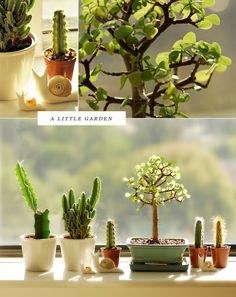 little indoor garden. It's considered good fung shui to have cactus in windows or near front doors :) Garden Cactus, Cactus Flower, Mini Cactus, Cactus Cactus, Jade Bonsai, Pot Plante, Cactus Y Suculentas, Cacti And Succulents, Succulent Tree