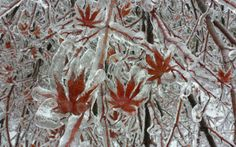 A layer of ice coats the leaves of a Japanese maple tree after an ice storm in Toronto, on Dec. 22, 2013.